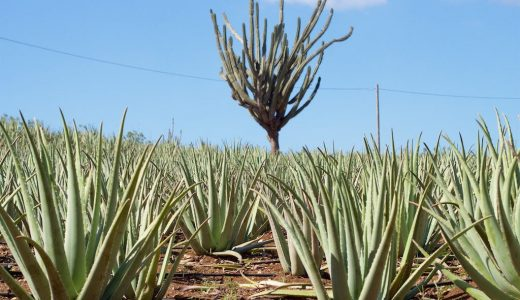 How to start Aloe Vera Farming business