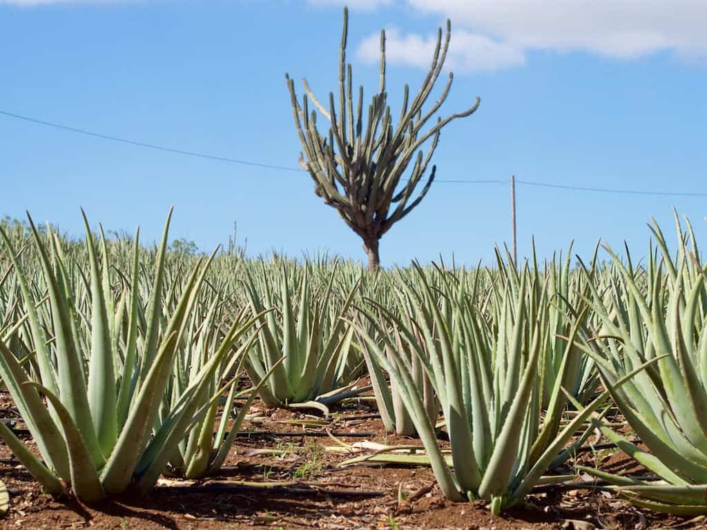 How to start Aloe Vera Farming business